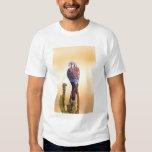 Sparverius del cernícalo, de Falco, nativos a los Camisas