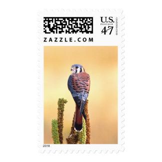 Sparverius del cernícalo, de Falco, nativos a los Estampillas