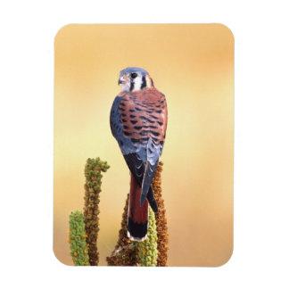 Sparverius del cernícalo, de Falco, nativos a los  Iman
