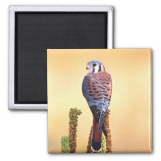 Sparverius del cernícalo, de Falco, nativos a los  Imán Cuadrado