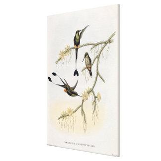 Spathura Solstitialis Lona Envuelta Para Galerías
