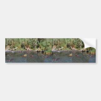 Spawning Salmon Bumper Stickers