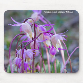 Species: Calypso orchid Mouse Pad