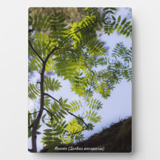 Species: Rowan Plaques