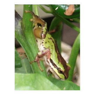 Speckled Frog in the Pepper Plant Postcard
