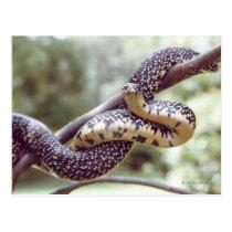 Speckled King Snake Postcard