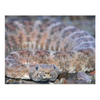 Speckled Rattlesnake Postcard
