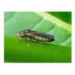 Speckled Sharpshooter Leaf Hopper Items Post Card