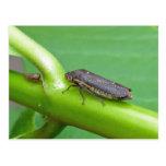 Speckled Sharpshooter Leaf Hopper Items Post Cards