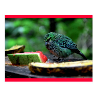 Speckled Tanager Postcard