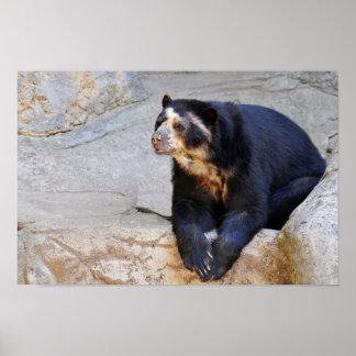 Spectacled bear on rocks poster