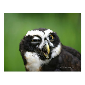 Spectacled Owl (Pulsatrix perspicillata) Postcard