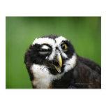 Spectacled Owl (Pulsatrix perspicillata) Postcards