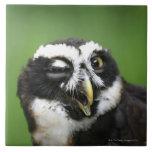 Spectacled Owl (Pulsatrix perspicillata) Tiles