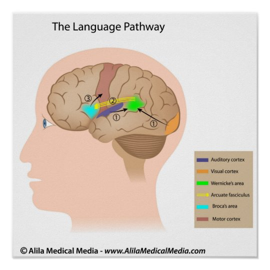 Speech centers of the brain diagram poster zazzle speech centers of the brain diagram poster ccuart Gallery