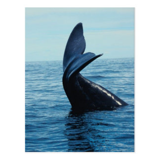Sperm Whale Tail Postcard