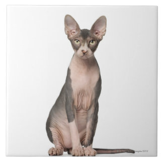 Sphynx (7 months old) sitting ceramic tile