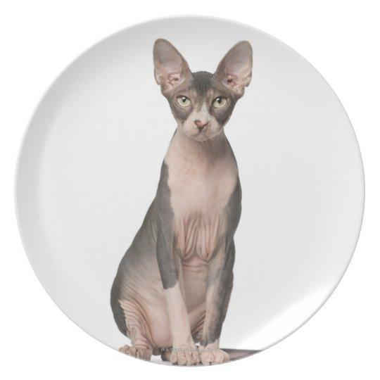 Sphynx (7 months old) sitting melamine plate