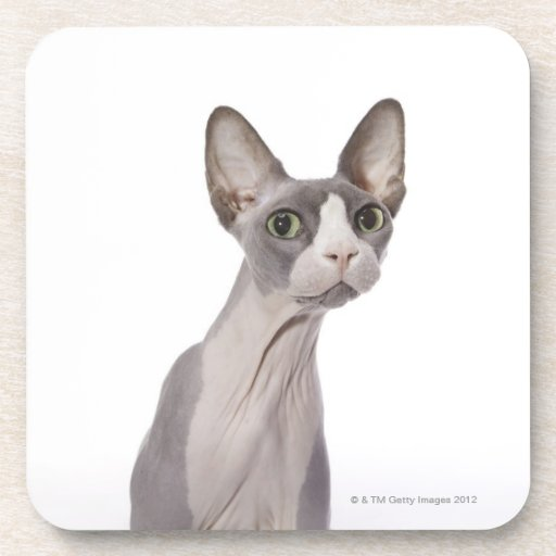 Sphynx Cat with surprised expression Coaster