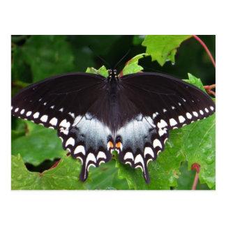 Spicebush Swallowtail 06 13 Tarjeta Postal