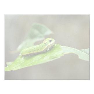 Spicebush Swallowtail butterfly larva Announcement