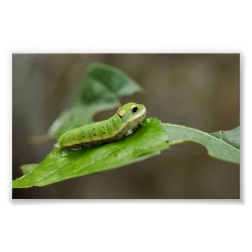 Spicebush Swallowtail butterfly larva Poster