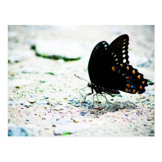 Spicebush Swallowtail Butterfly Postcard