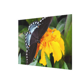 Spicebush Swallowtail Butterfly with Marigolds Canvas Print