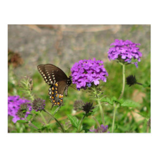 Spicebush Swallowtail on Verbena Postcard