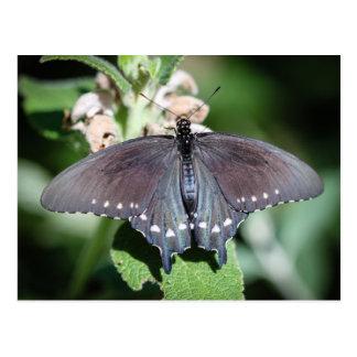 Spicebush Swallowtail Papilio Troilus Postal