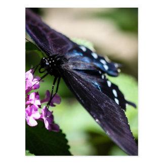 Spicebush Swallowtail Papilio Troilus Tarjeta Postal