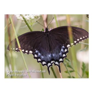 Spicebush Swallowtail Postales