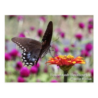 Spicebush Swallowtail Tarjeta Postal