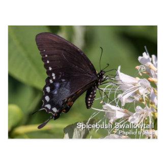Spicebush Swallowtail Tarjetas Postales