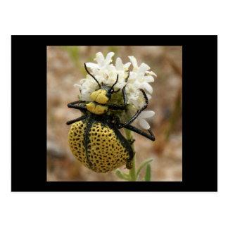 Spider Beetle Wonder Valley Post Card