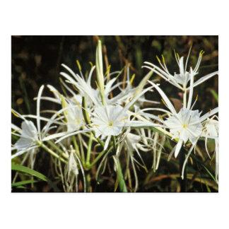 Spider Lily Postcard