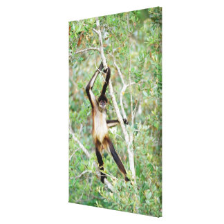 Spider monkey at the Belize Zoo Canvas Print