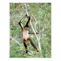 Spider monkey at the Belize Zoo Postcard
