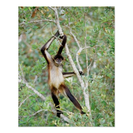 Spider monkey at the Belize Zoo Posters