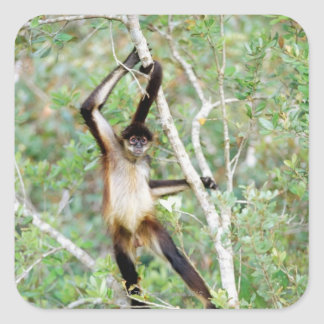 Spider monkey at the Belize Zoo Square Sticker