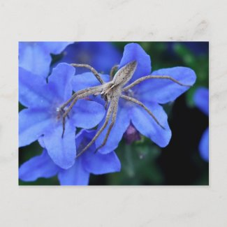 Spider on blue lithodora flowers postcard postcard