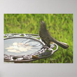 Spiegeland Mockingbird drinking water Poster