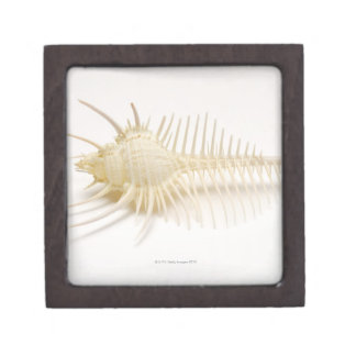 Spiked Murex shell Jewelry Box