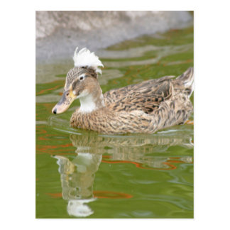 Spiky haired duck postcard
