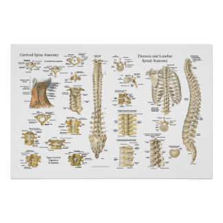 "Spinal and Vertebrae Anatomy Poster 24"" X 36"""