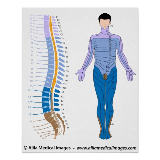 Spinal Cord And Dermatome Map Poster Zazzle Com