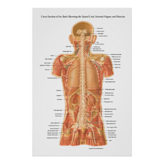 Spinal Cord, Internal Organs and Muscles Anatomy P Poster