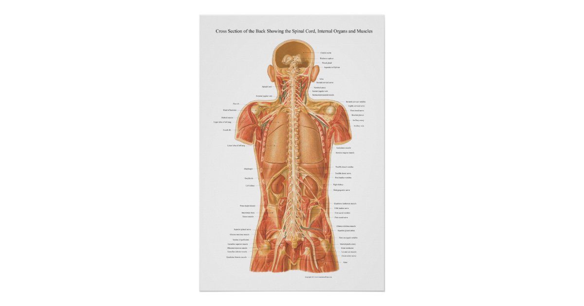 Spinal muscle anatomy