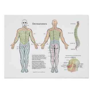 Spinal Dermatomes Poster Chiropractic