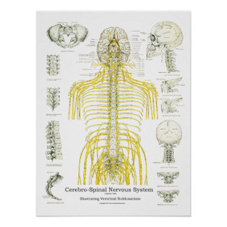 Spinal Nerves and Subluxations Chiropractic Poster